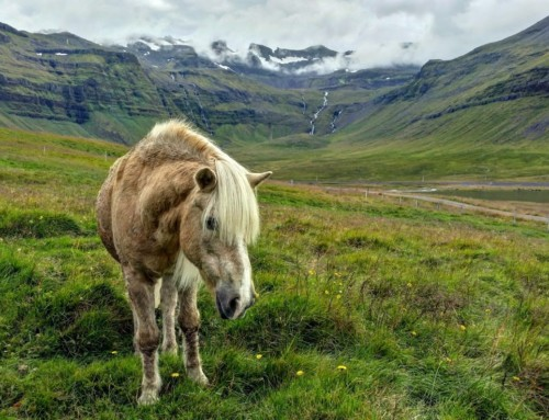 Meetup with the Icelandic horse.